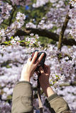 Woman hand taking picture of cherry tree blossom at Alishan. National Scenic Area, Taiwan Royalty Free Stock Images