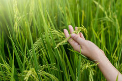 Woman hand tenderly touching a young rice in the paddy field Royalty Free Stock Images