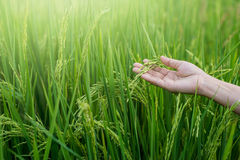 Woman hand tenderly touching a young rice in the paddy field Royalty Free Stock Photography