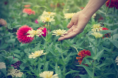 Woman hand touch zinnia flower in green field, Soft focus Royalty Free Stock Photos