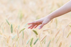 Woman hand Touching barley Royalty Free Stock Photo