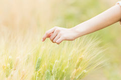 Woman hand Touching barley. Close up Woman hand Touching barley Royalty Free Stock Images