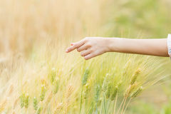 Woman hand Touching barley Stock Image