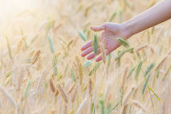 Woman hand touching barley. Barley field with woman hand touching barley Royalty Free Stock Photos