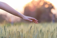 Woman hand touching barley. At sunset time Stock Photos