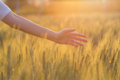 Woman hand touching barley. At sunset time Royalty Free Stock Image