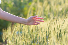 Woman hand touching barley. At sunset time Stock Images