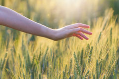 Woman hand touching barley. At sunset time Stock Image