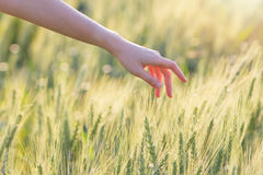 Woman hand touching barley at sunset. Time Royalty Free Stock Image