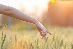 Woman hand touching barley at sunset time Stock Photography