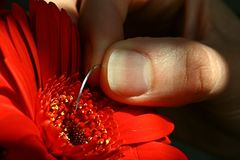 Woman hand touching Gerbera Garvinea with surgical needle. Woman hand touching red flower Gerbera Garvinea with surgical needle. Gerbera is sunlit by morning sun stock photo