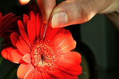 Woman hand touching red flower Gerbera Garvinea with surgical needle. Gerbera is sunlit by morning sun stock images