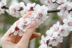 Woman hand touching sakura or peach bloom flowers. On tree Stock Photography