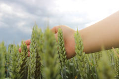 Woman hand touching wheat ear in wheat field. Hand in wheat field Royalty Free Stock Image
