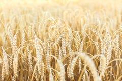 Woman hand touching wheat Stock Image