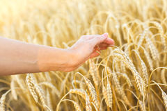 Woman hand touching wheat. Ears on the field Stock Photography