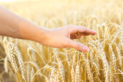 Woman hand touching wheat. Ears on the field Royalty Free Stock Images