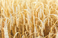 Woman hand touching wheat Royalty Free Stock Photos