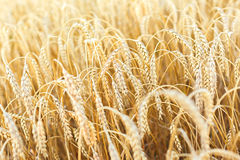 Woman hand touching wheat Stock Images