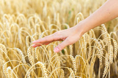 Woman hand touching wheat Stock Photos
