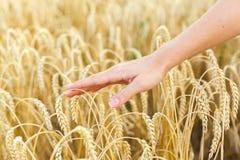 Woman hand touching wheat Stock Photos