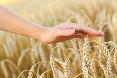 Woman hand touching wheat. Ears on the field Royalty Free Stock Photography
