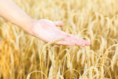 Woman hand touching wheat Royalty Free Stock Images