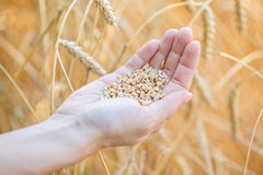 Woman hand touching wheat. Ears on the field Royalty Free Stock Photo
