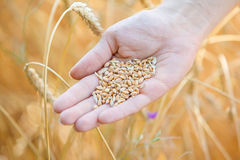 Woman hand touching wheat. Ears on the field Royalty Free Stock Photos