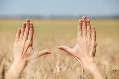 Woman hand touching wheat. Ears on the field Stock Image