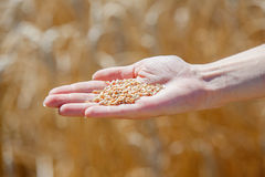 Woman hand touching wheat. Ears on the field Stock Photos