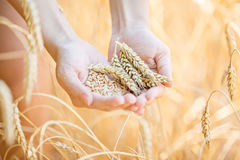 Woman hand touching wheat. Ears on the field Stock Photo