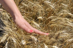 Woman hand touching wheat. In the field Stock Images