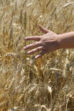 Woman hand touching wheat. In the field Stock Photography