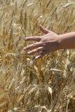 Woman hand touching wheat Stock Photography