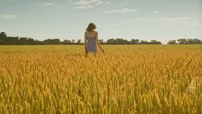 Woman hand touching wheat field. Woman walking away in agricultural field stock video