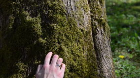 Woman hand walk imitation through mossy tree trunk. stock video