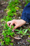 Woman hand weeding through parsley Royalty Free Stock Photos