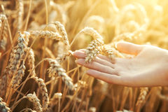 Woman Hand With Ear Of Wheat Royalty Free Stock Photography