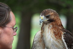 Woman Handling Red Tail Hawk. An unidentified female zoo keeper handling a red tail hawk at the zoo in Topeka Kansas Stock Image