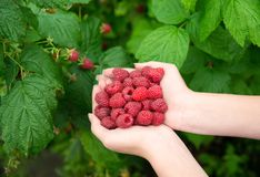 Woman hands with big red raspberries. On background branch of raspberry Stock Photography