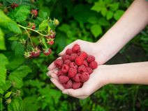 Woman hands with big red raspberries. On background branch of raspberry Stock Image
