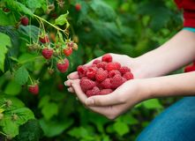 Woman hands with big red raspberries. On background branch of raspberry Royalty Free Stock Photography
