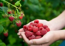 Woman hands with big red raspberries. On background branch of raspberry. Small DOF Royalty Free Stock Photo
