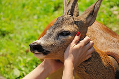Woman hands caressing a roadeer Stock Photo