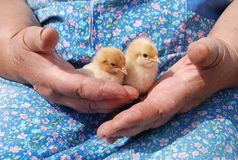 Woman hands with chicks. Original photo woman hands and chiks Stock Photography