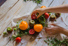 Woman hands with colorful tomatoes and tomato twigs on the old white wooden table. Royalty Free Stock Photography