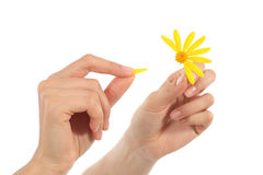 Woman hands defoliating a daisy. In a white background Royalty Free Stock Photos