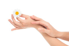 Woman hands french manicure with camomile daisy flower Royalty Free Stock Image