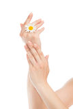 Woman hands french manicure with camomile daisy flower Royalty Free Stock Photography